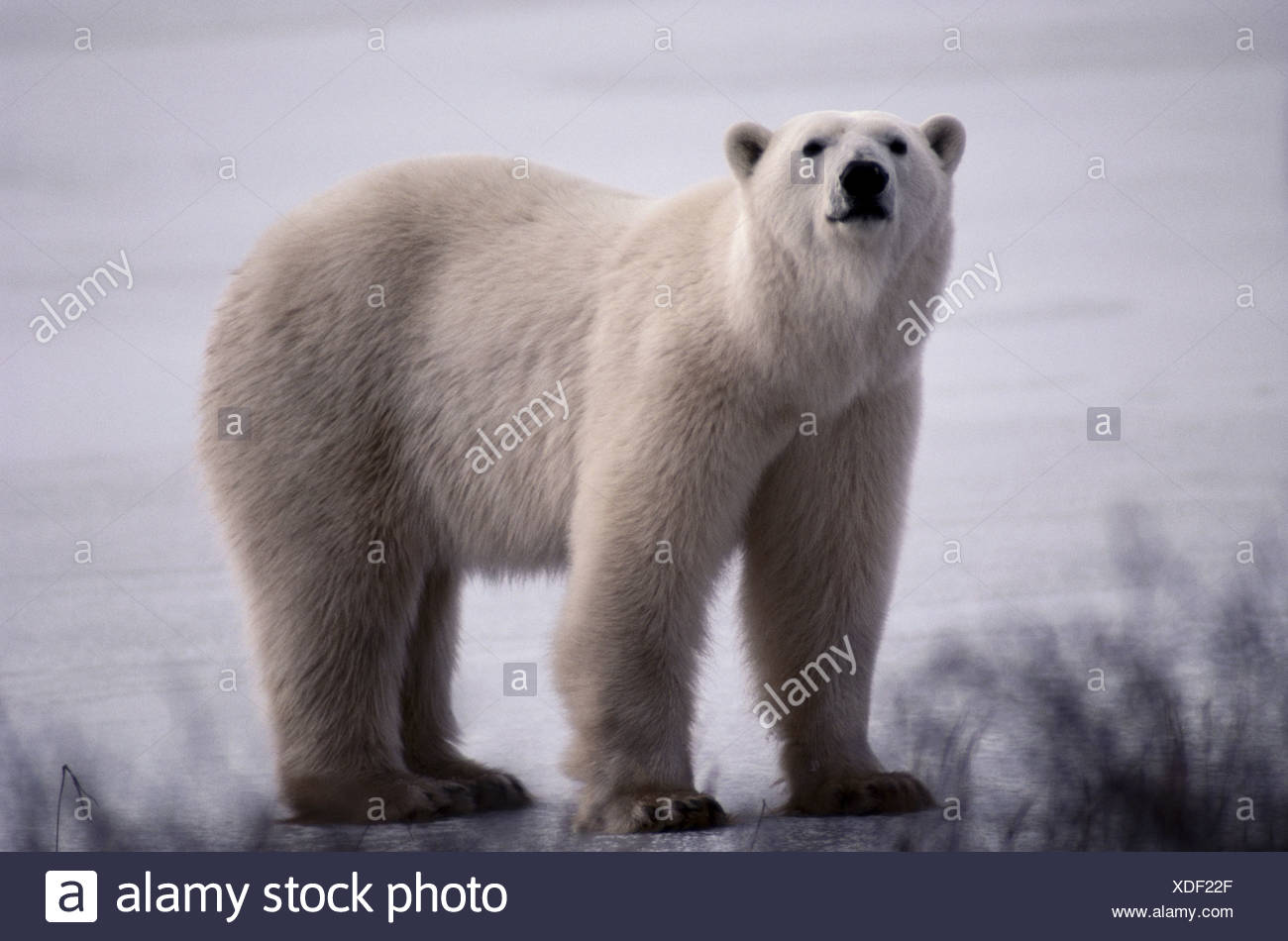 L'ours polaire, Canada Photo Stock