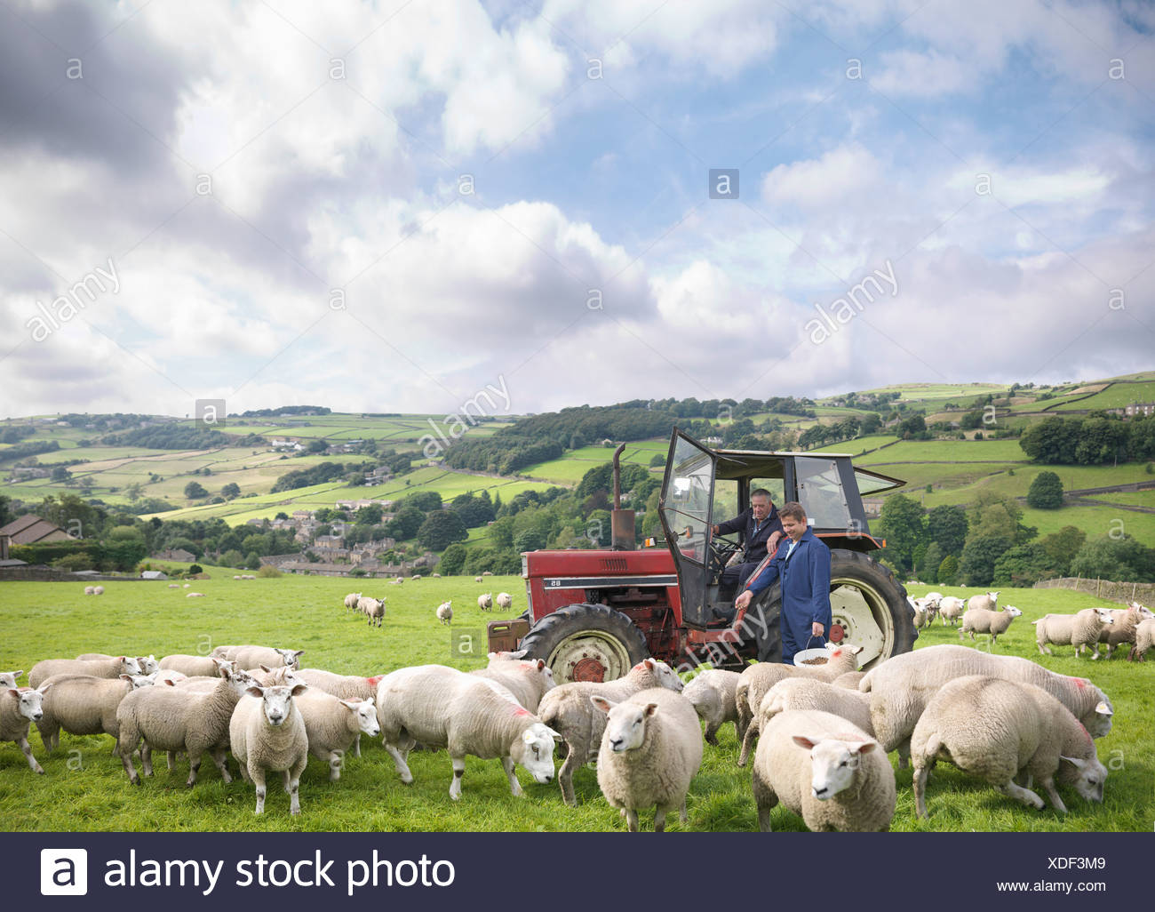 Agriculteur dans le tracteur avec son watching sheep in field Photo Stock