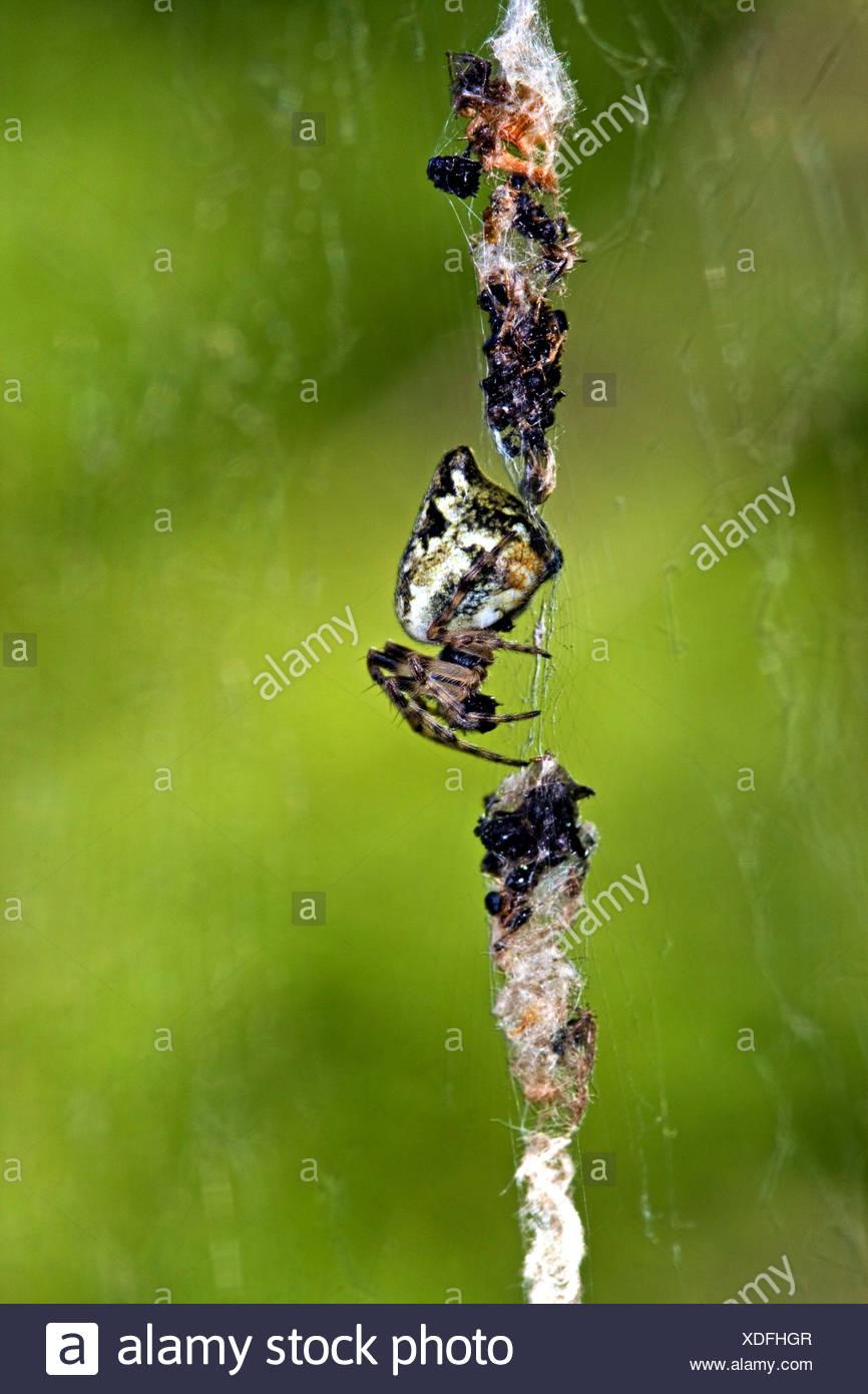 Cyclosa conica (orbweaver trashline), l'araignée au milieu de la toile entre les particules de camouflage Photo Stock