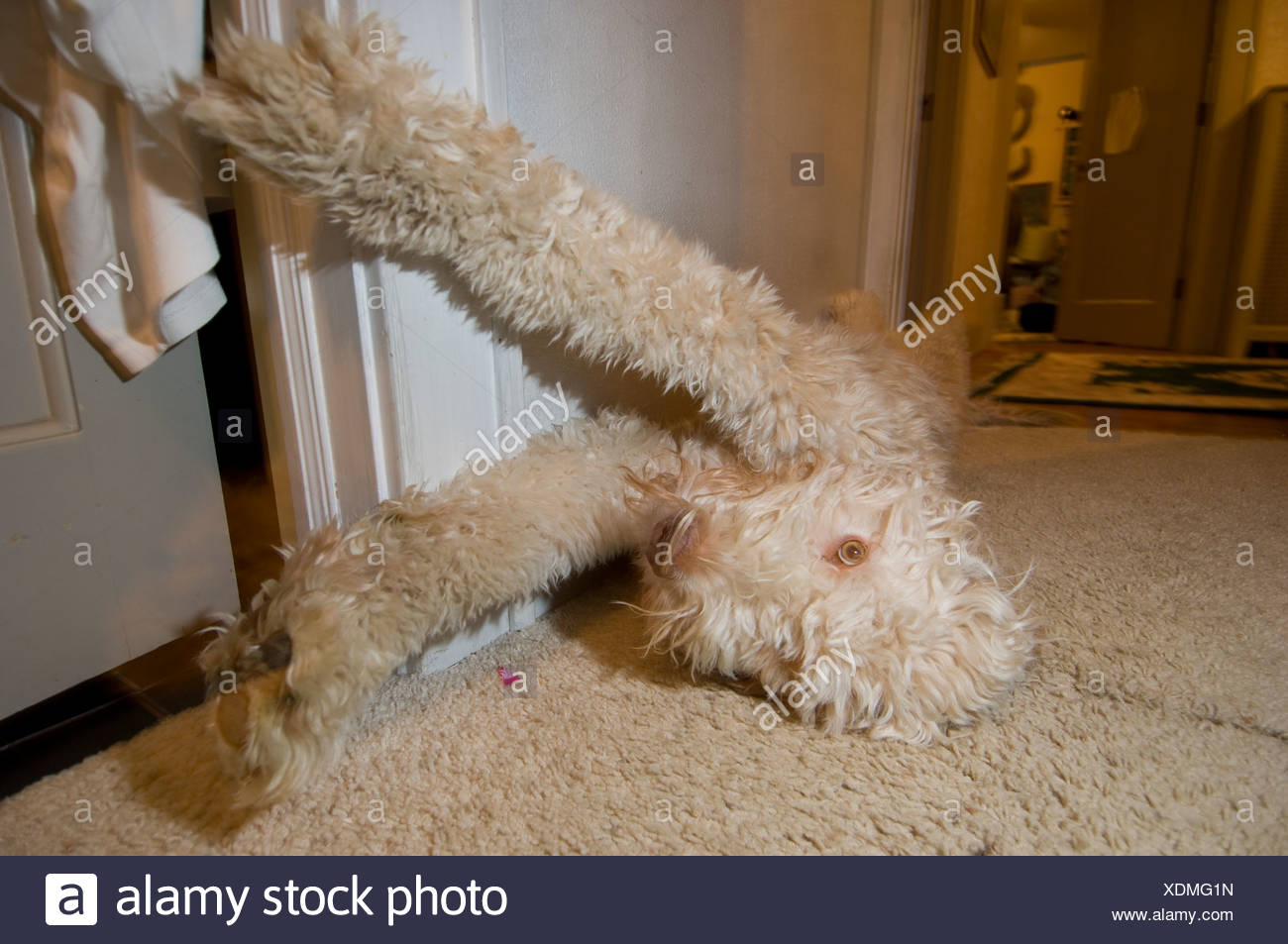 Une fantaisie doodle dog s'étend. Photo Stock