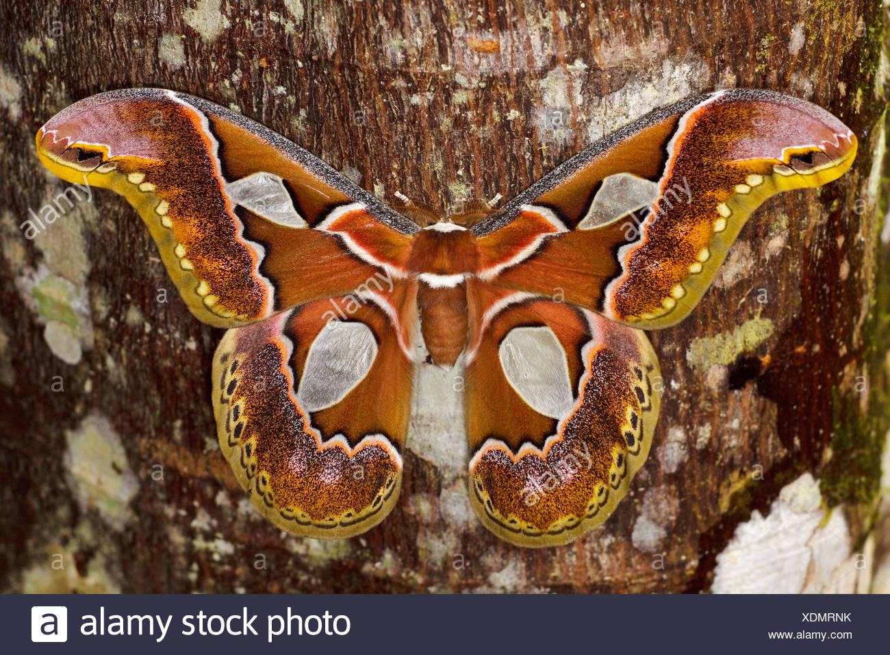 Un grand papillon perché sur un tronc d'arbre dans la vallée de Tandayapa de l'Équateur. Photo Stock