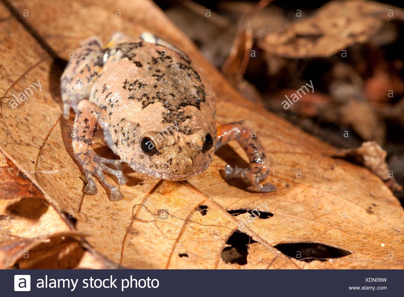Photo d'un trou d'arbre grenouille, elles pondent leurs œufs dans des trous d'arbres, les hommes appel à partir d'arbres de sorte que les femmes puissent les localiser Photo Stock