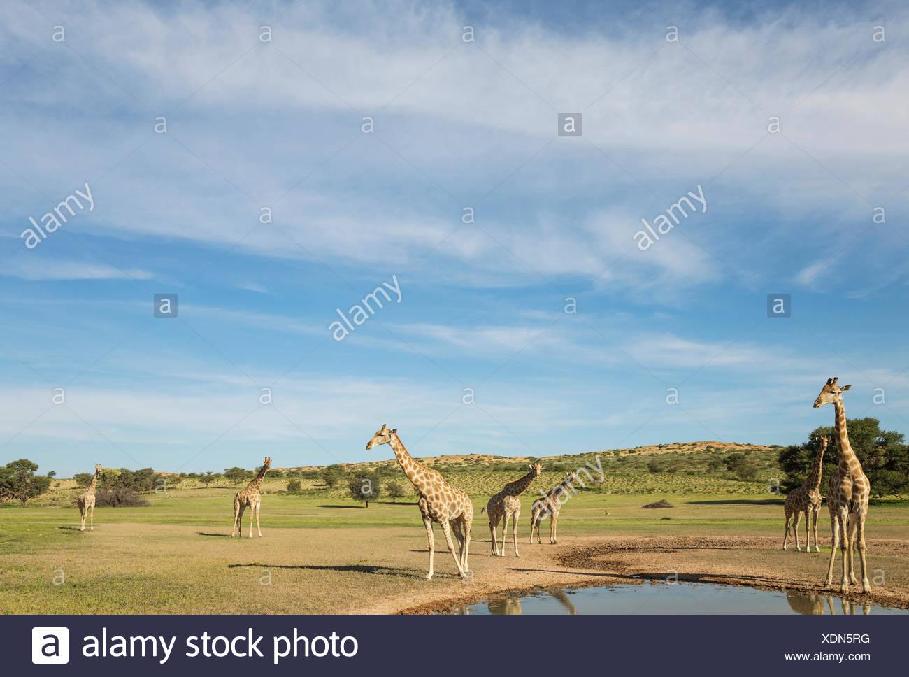 Le sud de Girafe (Giraffa giraffa) troupeau. Réunis à une piscine d'eau de pluie dans le lit de la rivière Auob Photo Stock