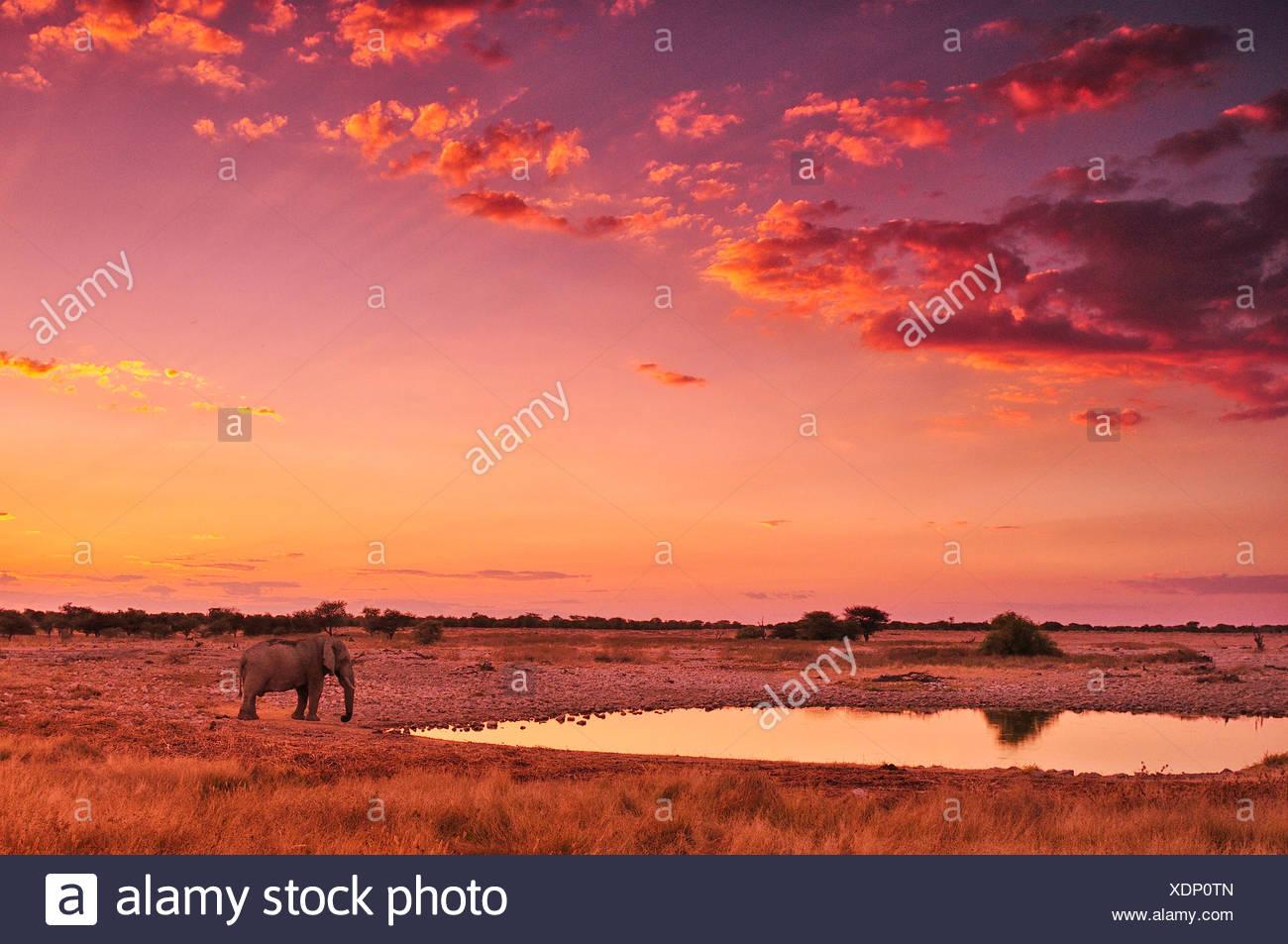 L'Afrique, la Namibie, Etosha, Parc National, coucher du soleil, l'éléphant, animal, eau, safari, les animaux, la faune, rouge, Loxodonta africain, un Photo Stock