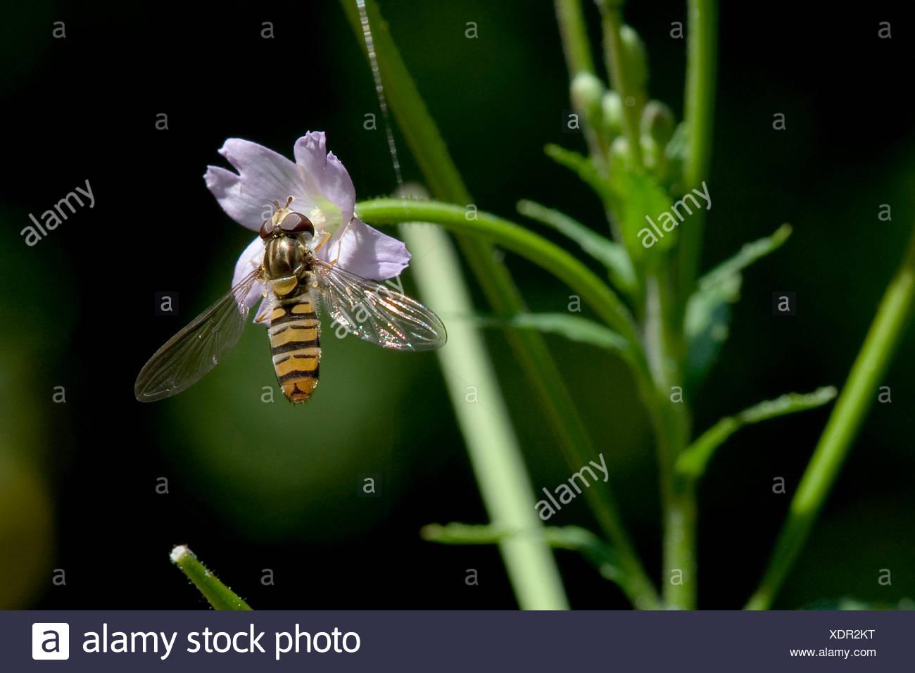 Hoary willow-herb, petite fleur de saule velu Epilobium parviflorum (herbe), fleur avec Episyrphus balteatus, Allemagne Photo Stock