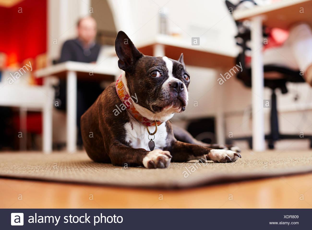 Portrait de curieux chien couché sur un tapis dans un bureau Photo Stock
