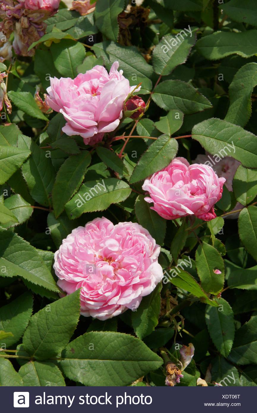 Rosa Jaques Cartier, Damascener Rose Photo Stock