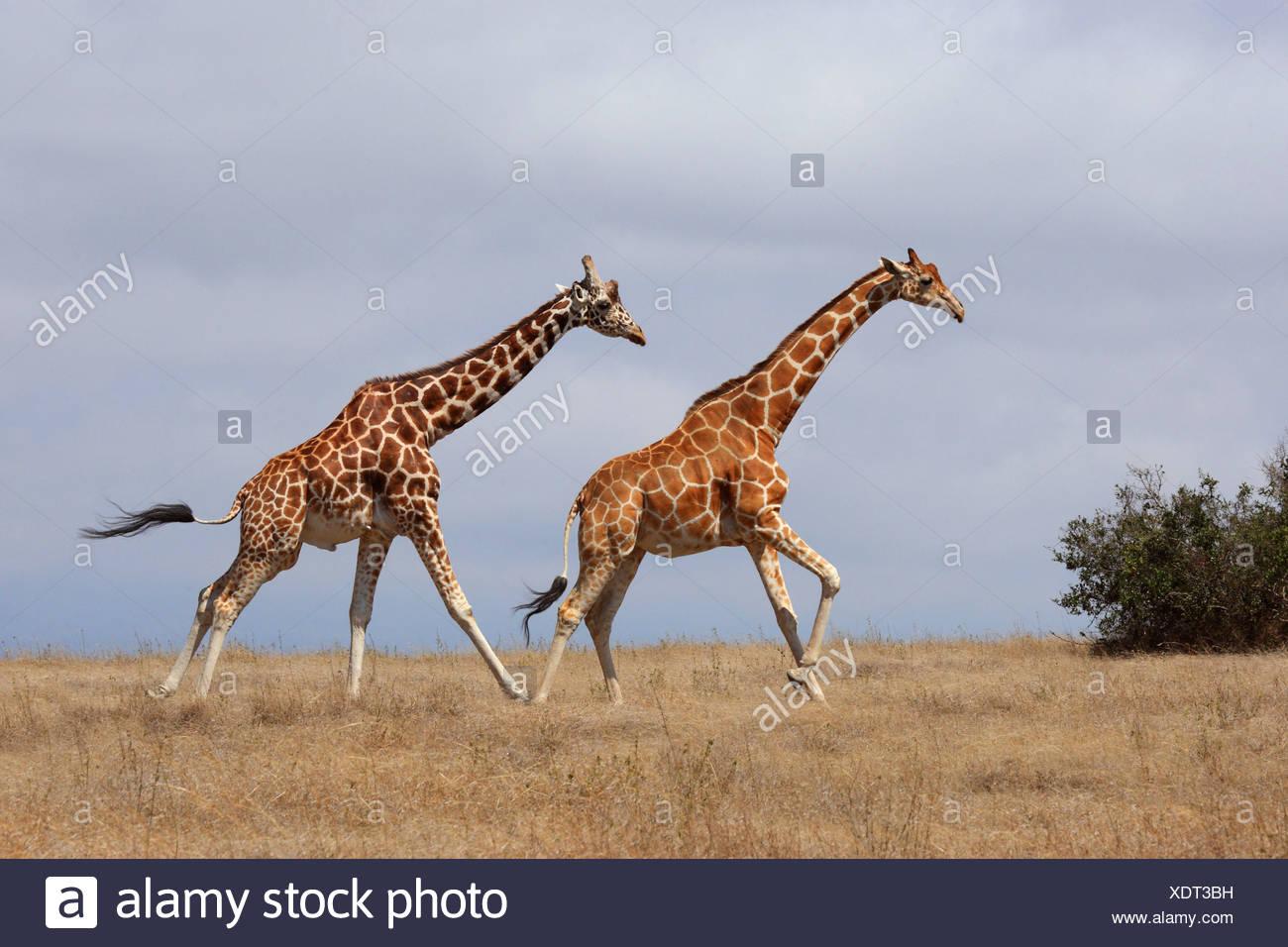 Giraffe réticulée (Giraffa camelopardalis reticulata), deux girafes à travers la savane, Kenya, Sweetwater Game Reserve Banque D'Images