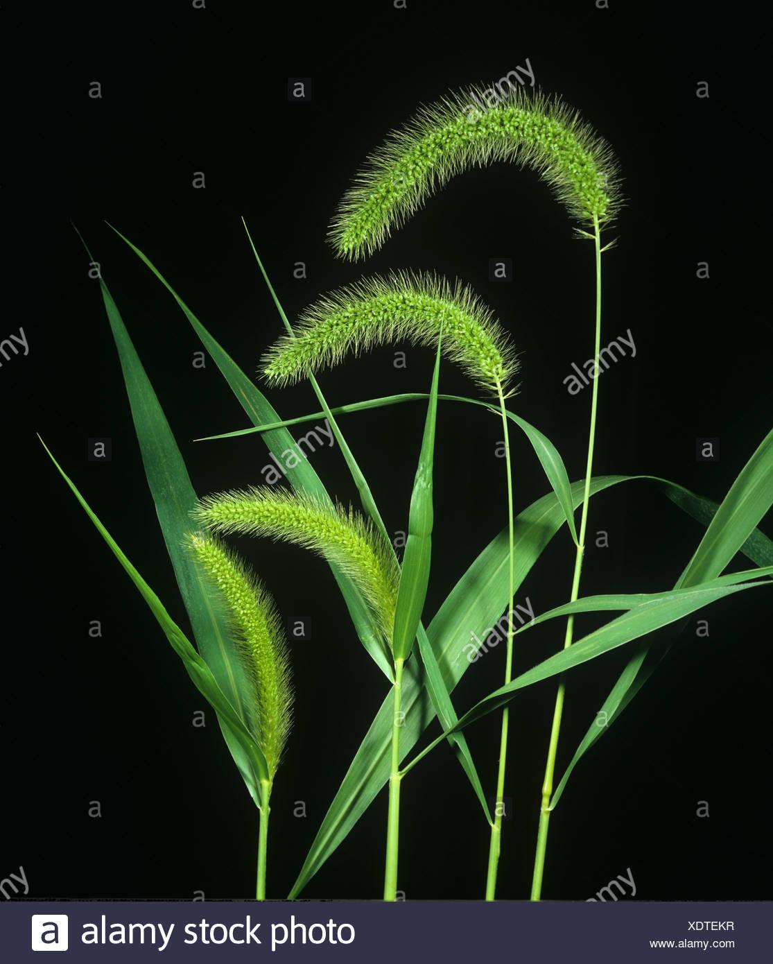 Sétaire verte Setaria faberi fleurs de mauvaises herbes graminées Photo Stock