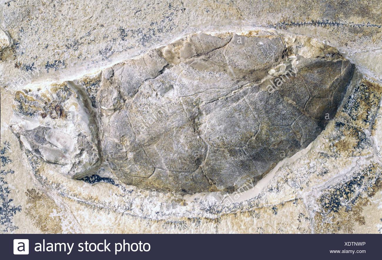 La préhistoire, les fossiles, les animaux, les tortues, partie de tortue, Eichstätt, Additional-Rights-Clearences-NA Photo Stock