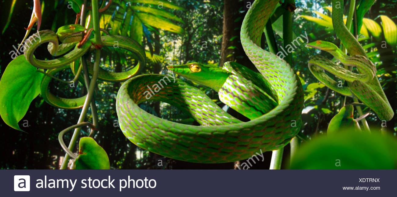 Les serpents de vigne (Dryophis nasuta) imiter vrilles enroulées de feuillage pour se cacher dans la forêt tropicale (résolution restriction - numérisés à partir de l'image, film étrange 'nature', série télé) Banque D'Images