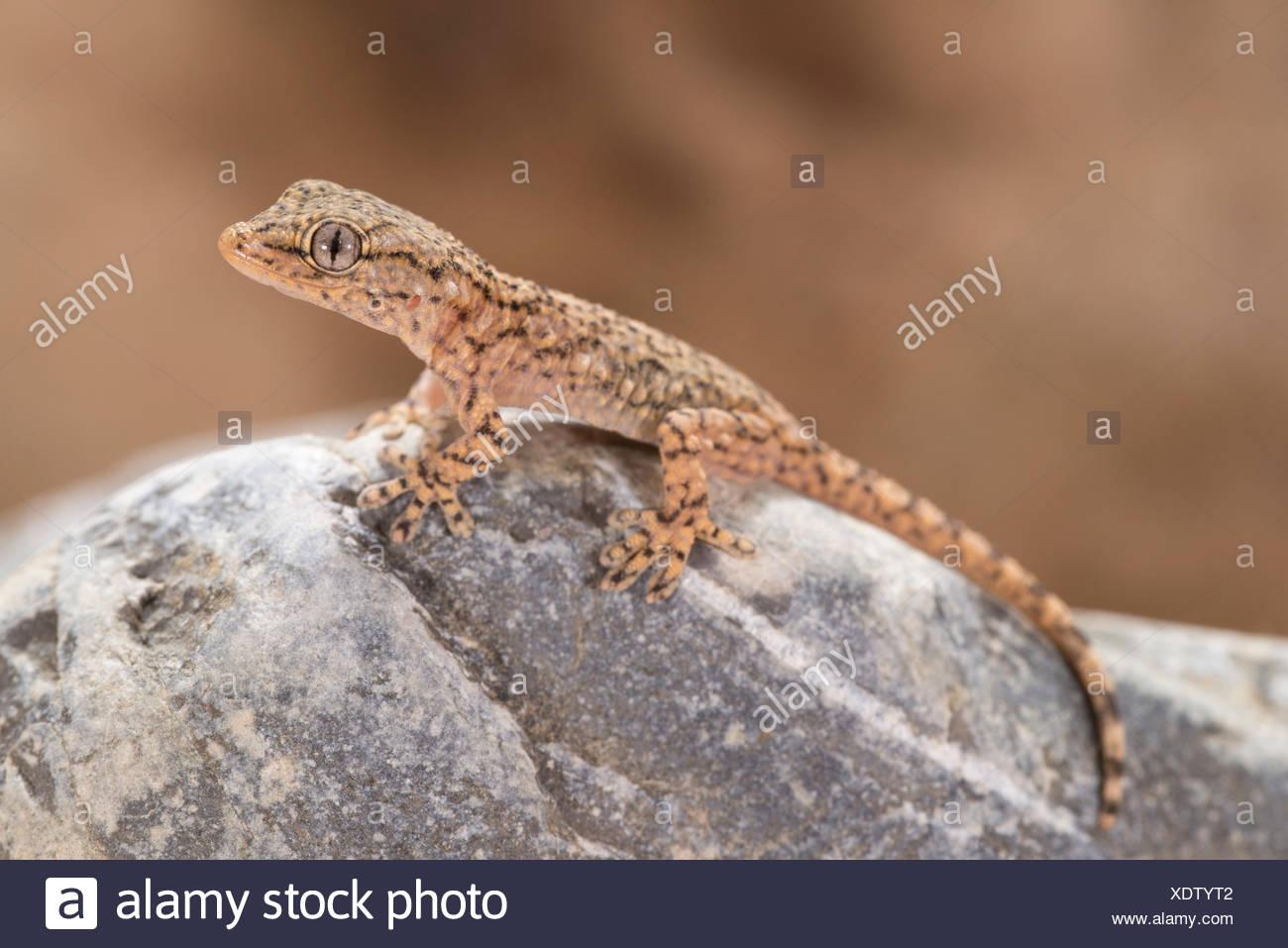 Spécimen juvénile de gecko commun appartenant à l'espèce Tarentula mauritanica Photo Stock