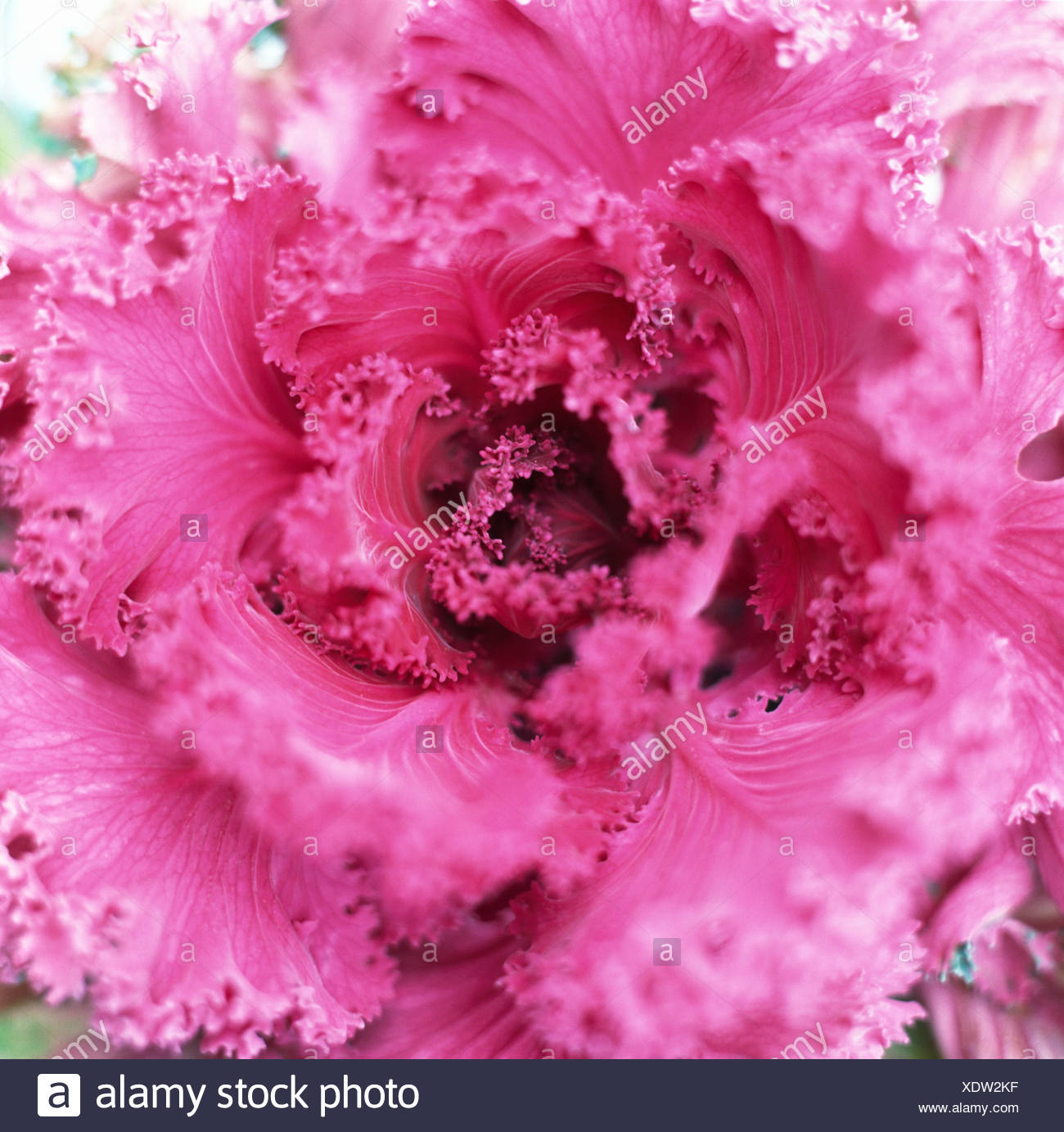 Kale floraison rouge close-up. Banque D'Images