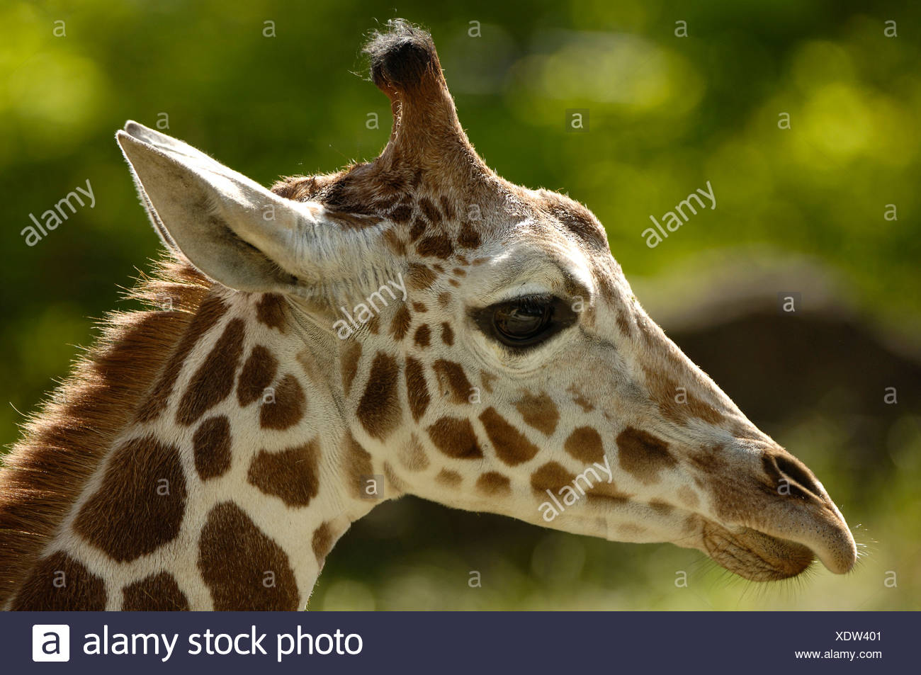 Ou somaliens giraffe réticulée (Giraffa camelopardalis reticulata) Banque D'Images
