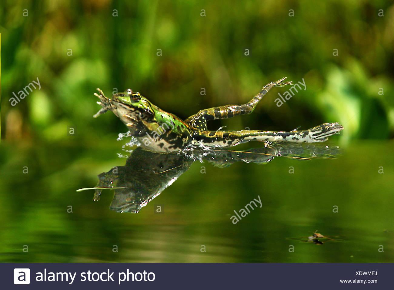 Grenouille comestible européen commun, edible frog (Rana kl. esculenta, Rana esculenta, Pelophylax esculentus), sauter dans l'eau, de l'Allemagne Photo Stock