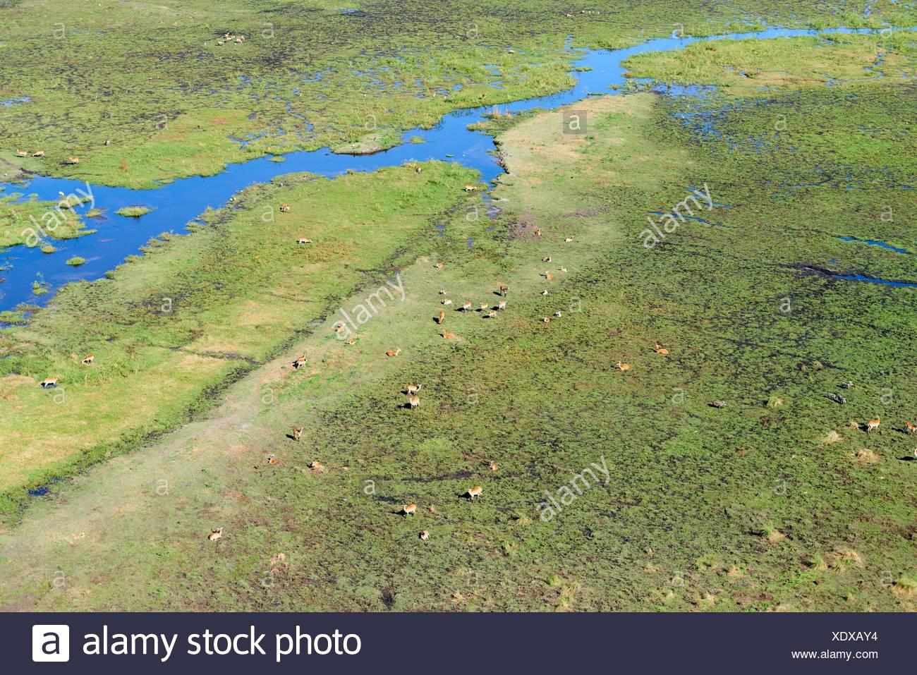 Vue aérienne de Cobes Lechwes (Kobus leche) dans le marais, Okavango Delta, Botswana. Banque D'Images