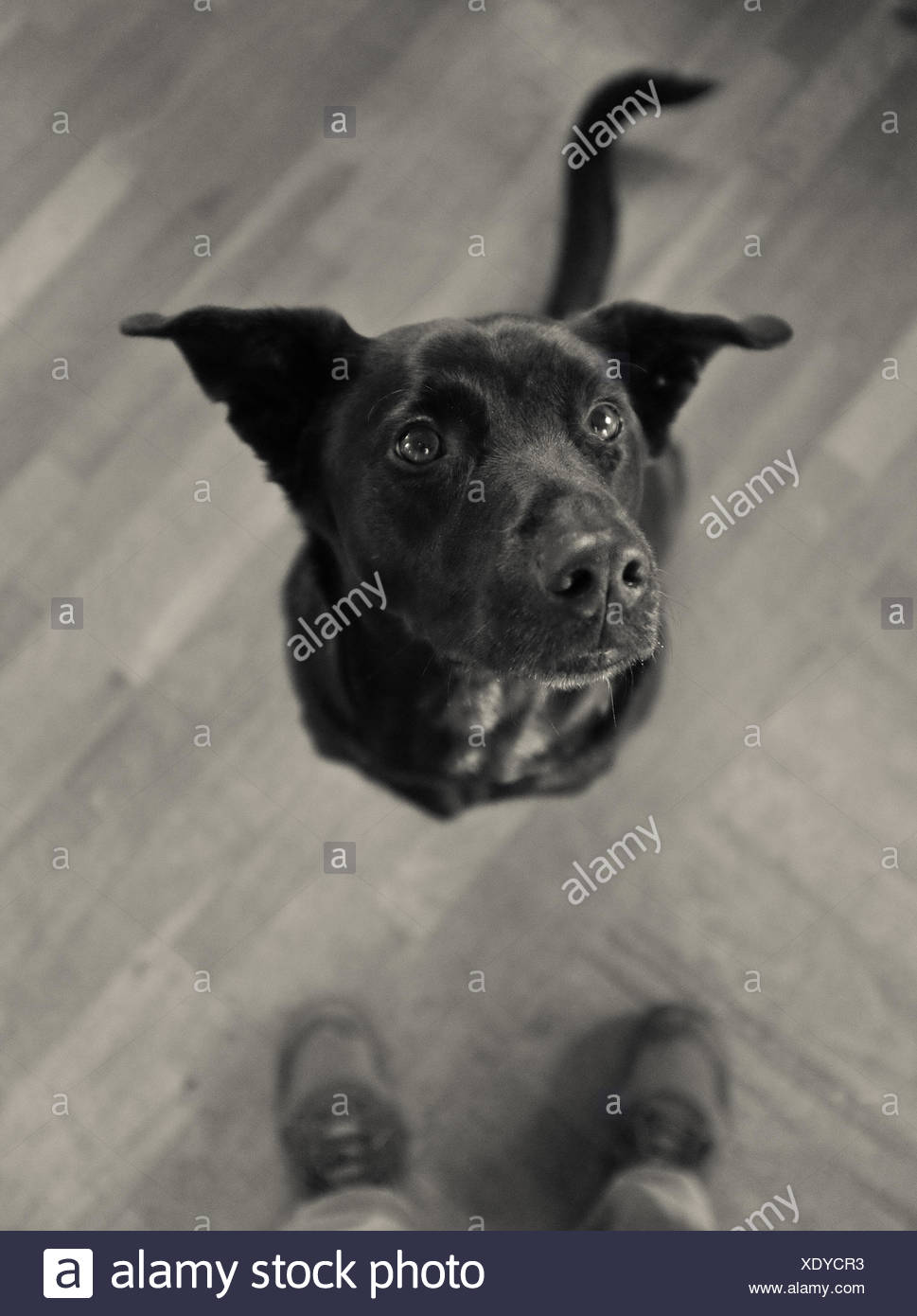 Chien en attente Photo Stock