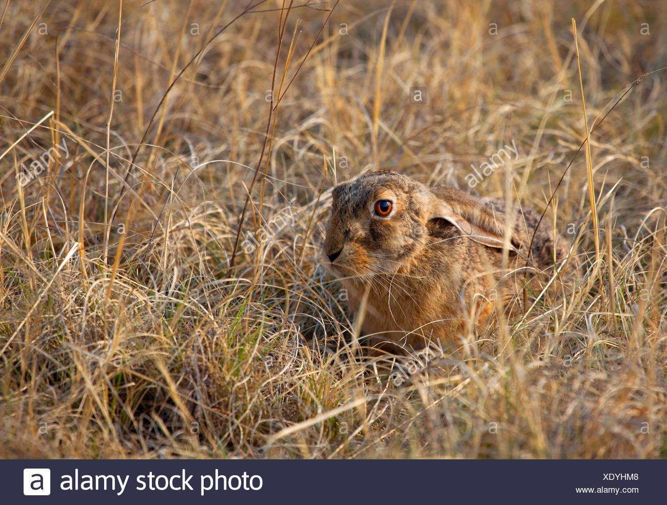 Cape hare, brown hare (Lepus capensis), bien camouflés dans de l'herbe sèche, Afrique du Sud Photo Stock