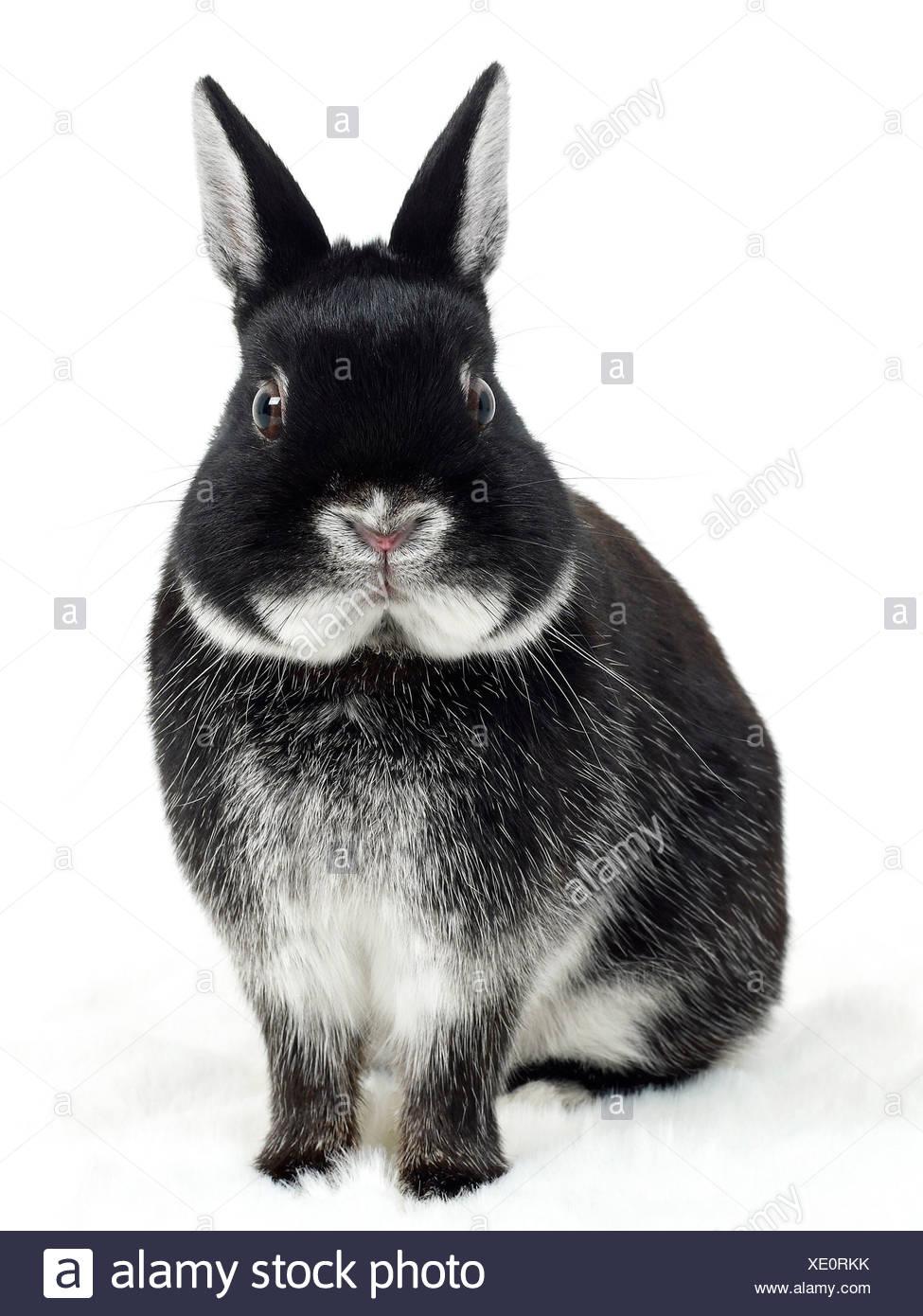 Un lapin noir et blanc à la surprise. Photo Stock