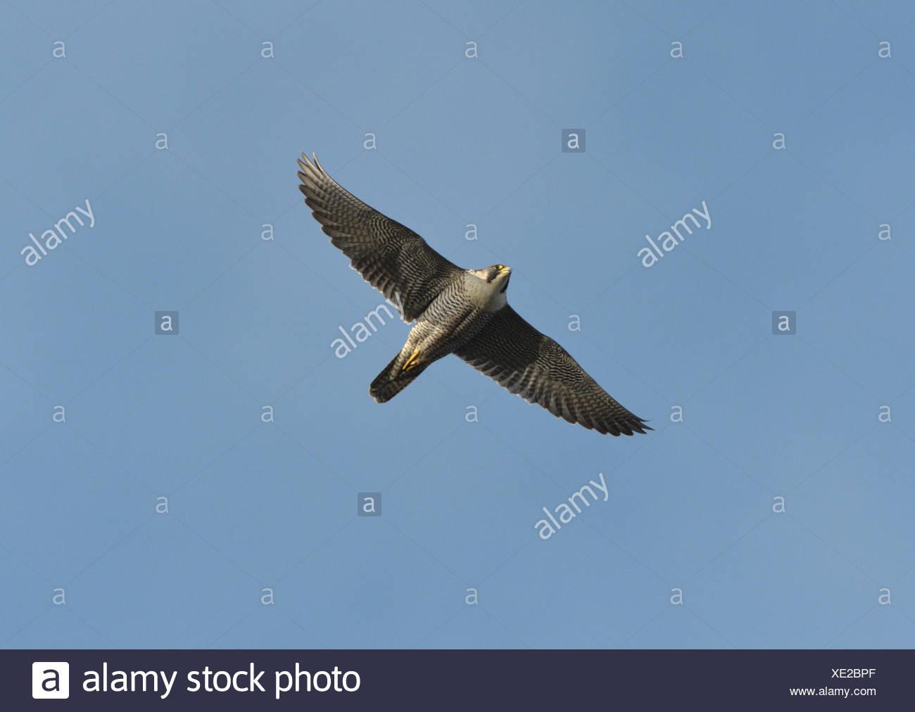Peregrine - Falco peregrinus Banque D'Images