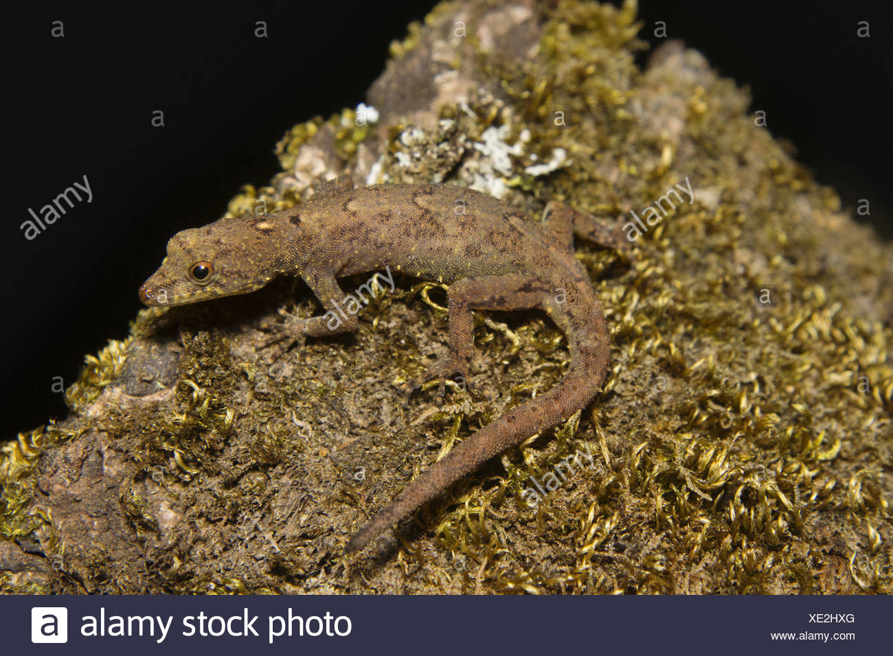 Gecko nain Notes, sp, Gekkonidae, Silent Valley National Park, le Kerala. L'Inde Banque D'Images