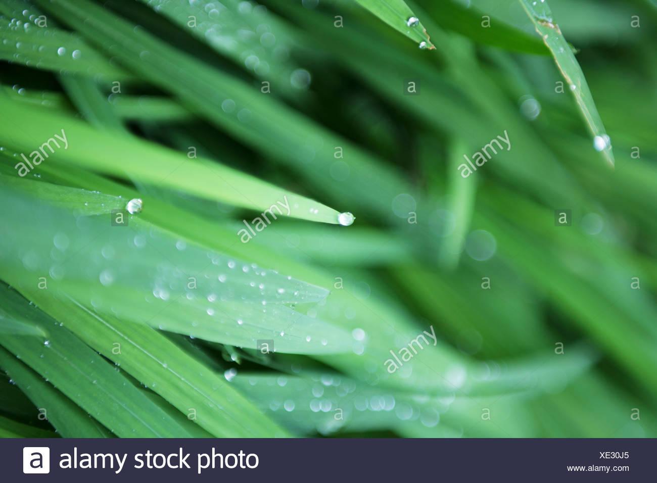 Brins d'herbe avec des gouttes d'eau, Close-up Banque D'Images