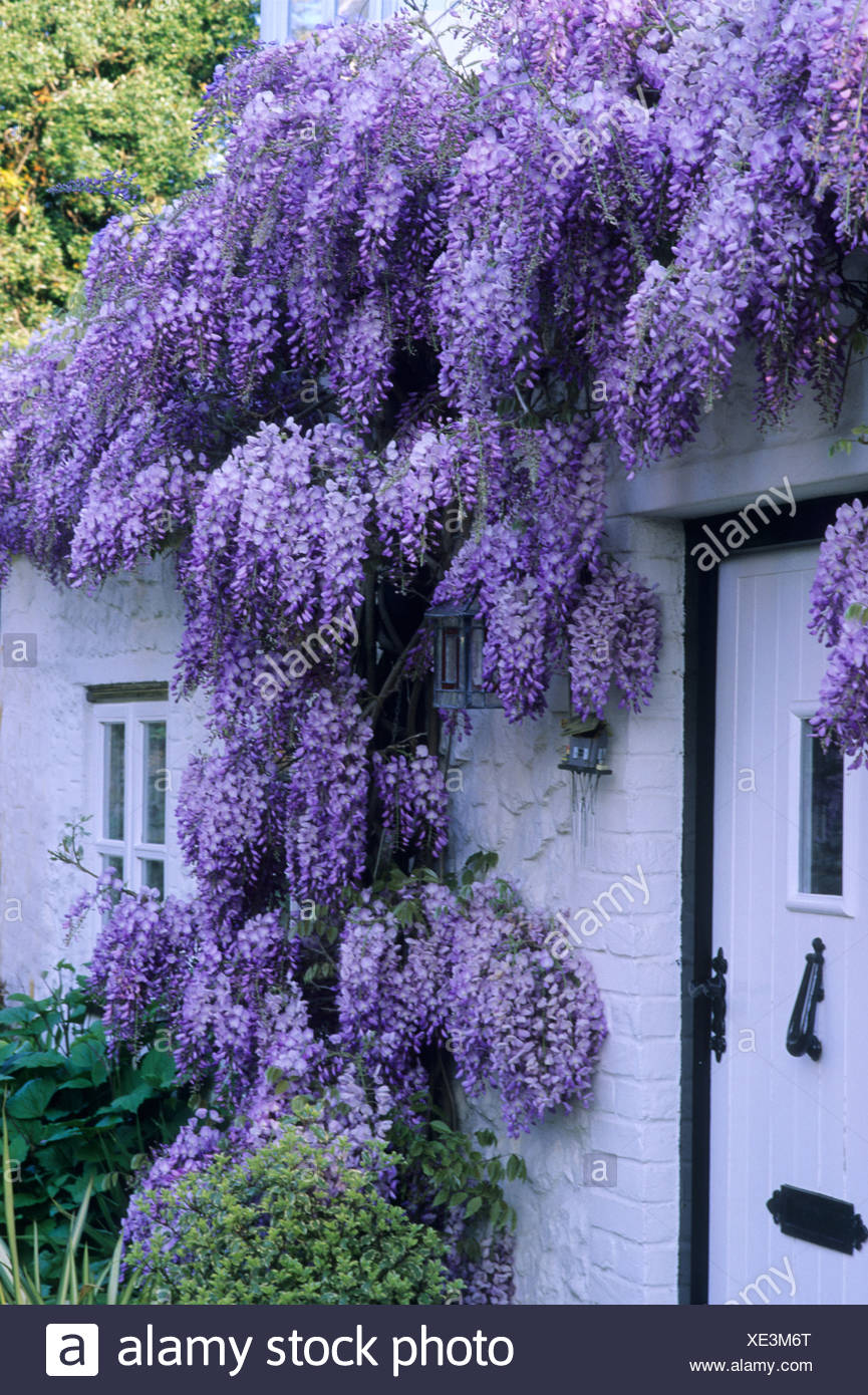 Cottage Blanc Violet Avec Glycine Plante Grimpante Fleur Porte