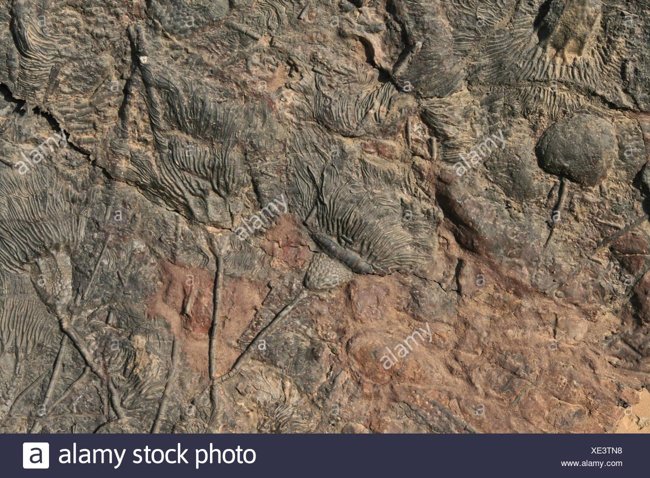 Fossiles maroc fossilizations dalle de pierre d'Échinodermes fossiles maroc pétrifié Photo Stock