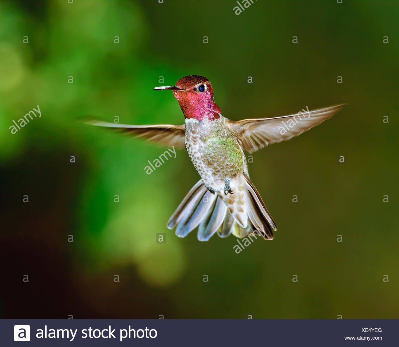 Un homme Anna's hummingbird planant au milieu de l'air, l'Arizona, l'Amérique, USA Photo Stock