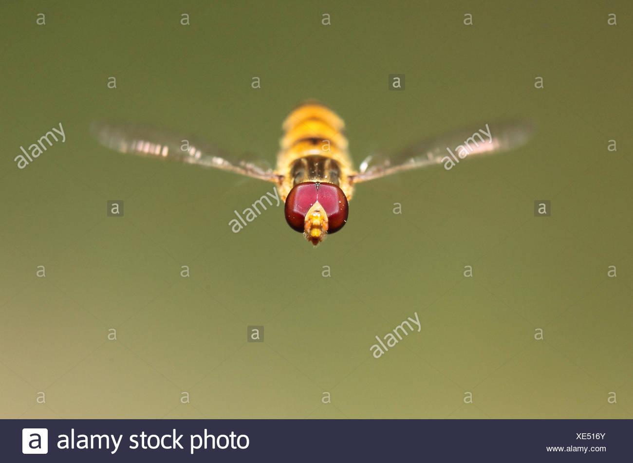 Portrait d'un syrphe vol stationnaire ou avec des grains de pollen sur ses yeux composés. Les dossiers montrent que leur vitesse peut être jusqu'à 300 battements d'ailes par seconde. Photo Stock