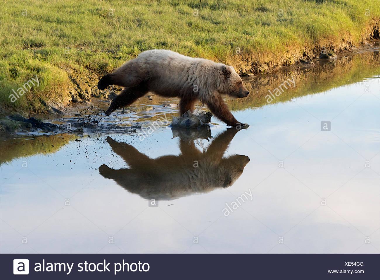 Un grizzly hits de l'eau à pleine vitesse de croisière. Photo Stock
