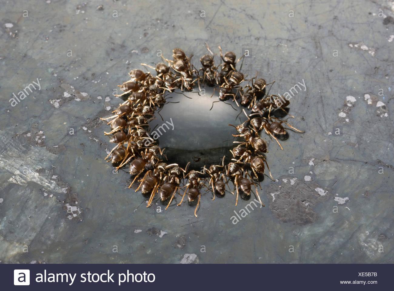 Fourmis noires jardin} {Lasius niger se nourrissant de goutte d'érable sur une surface de travail en granit, UK Photo Stock