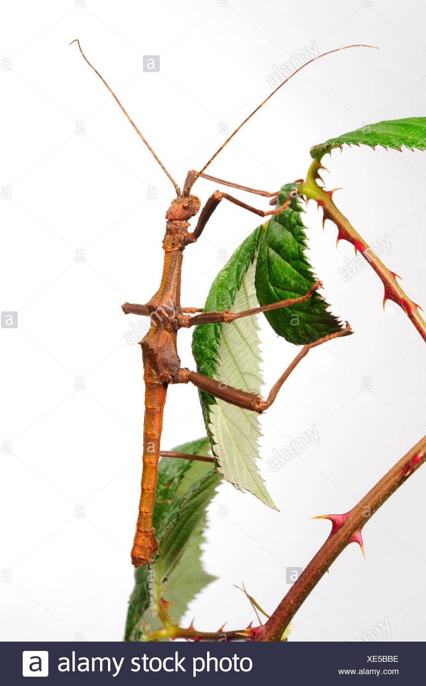 Phasme épineux, Géant phasme épineux (Trachyaretaon brueckneri carmelae, Trachyaretaon), sur une branche, Philippines, Babuyan-Inseln Photo Stock