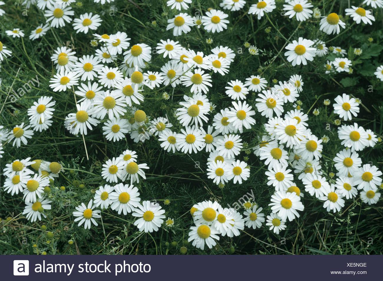 stinking chamomile anthemis cotula photos & stinking chamomile