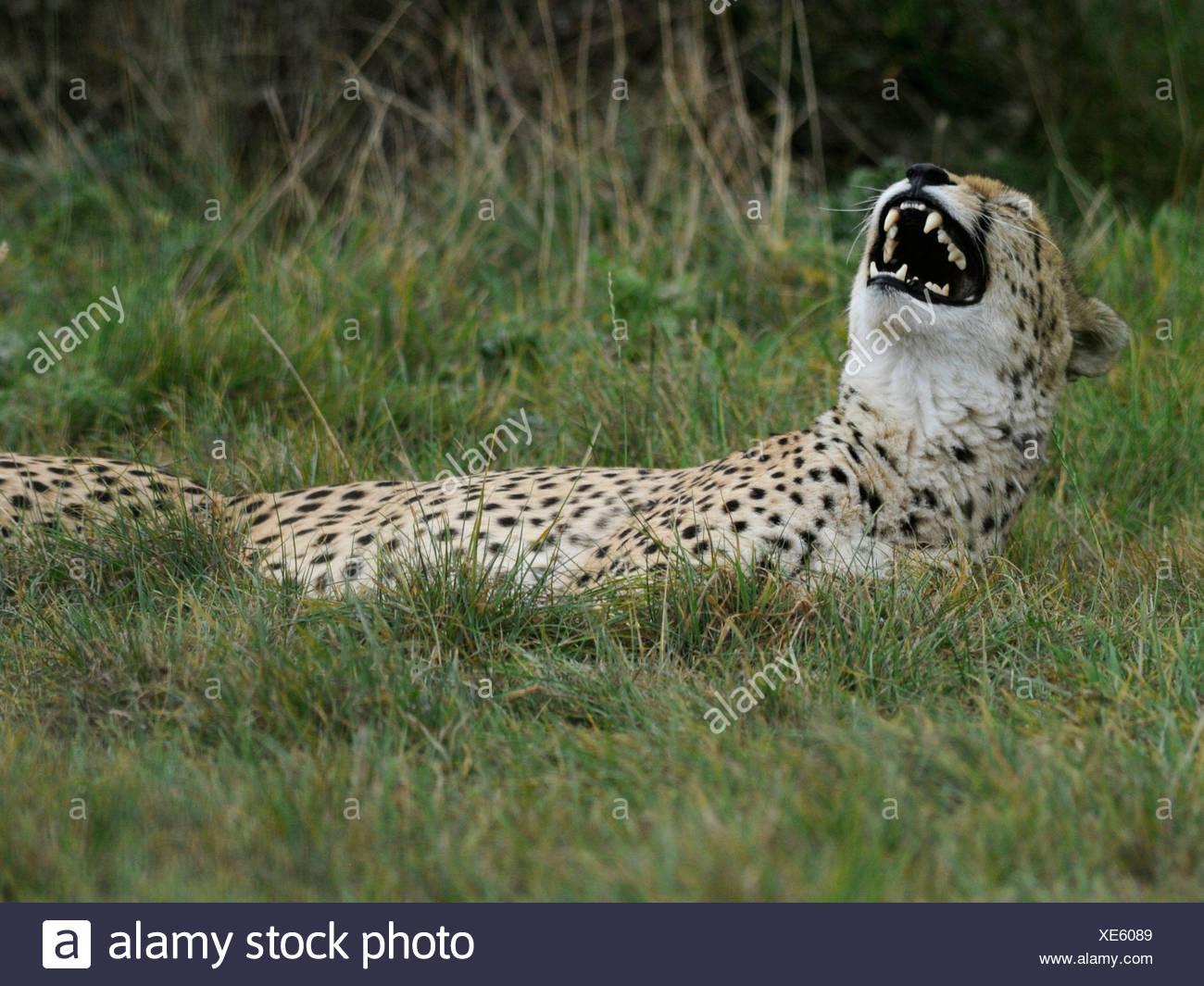 Un guépard rire ' s'amuser. Photo Stock