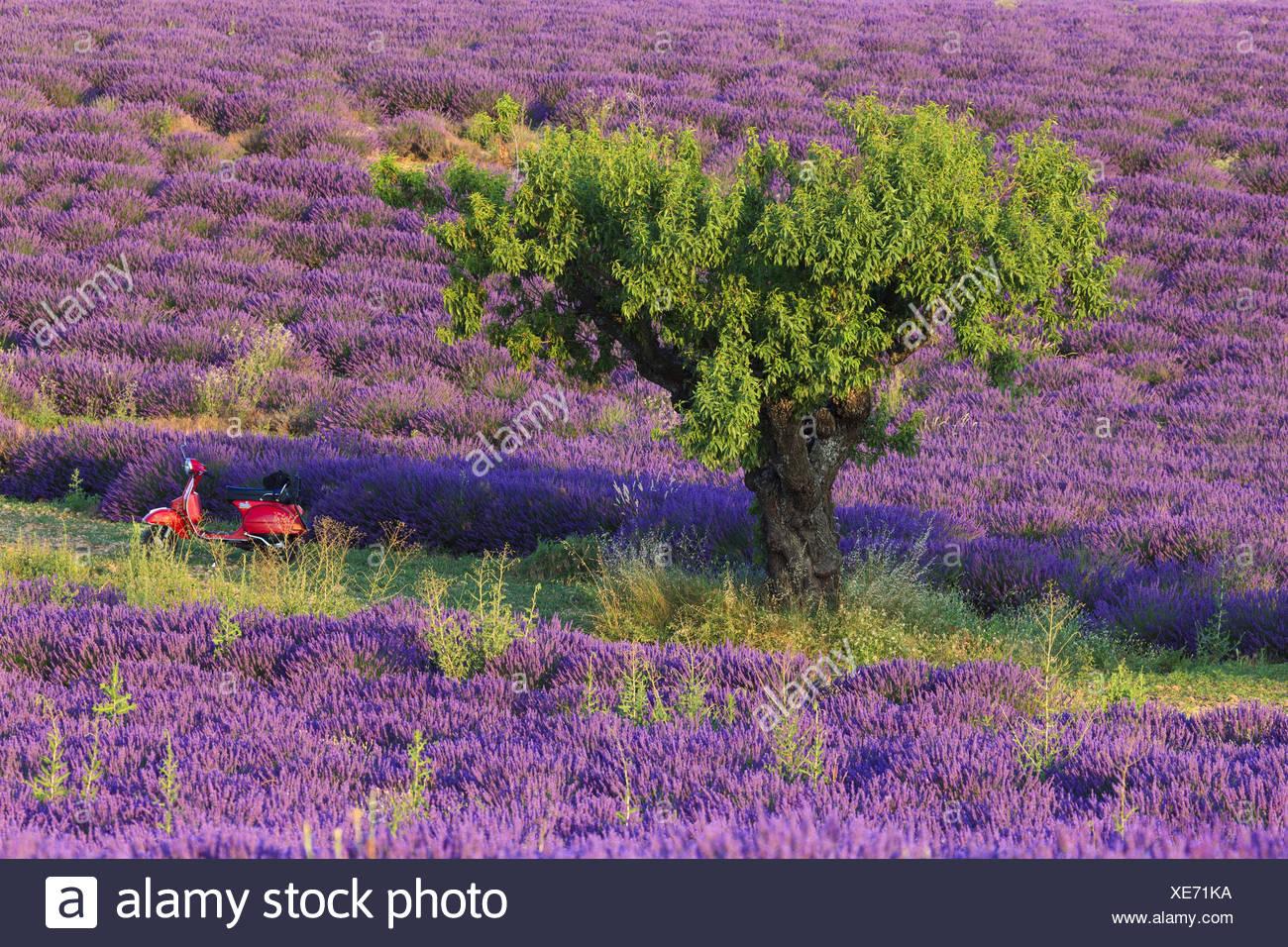 Vertu De La Lavande scooter rouge en vertu de l'amandier, prunus dulcis, dans le