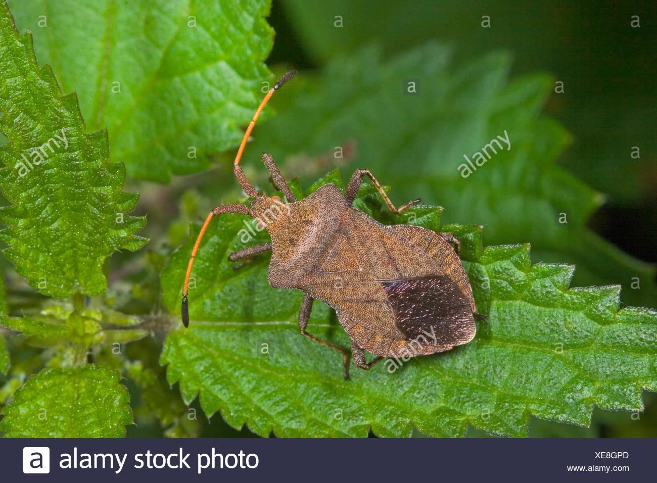 Squash bug (Coreus marginatus, Mesocerus marginatus), assis sur une feuille, Allemagne Photo Stock
