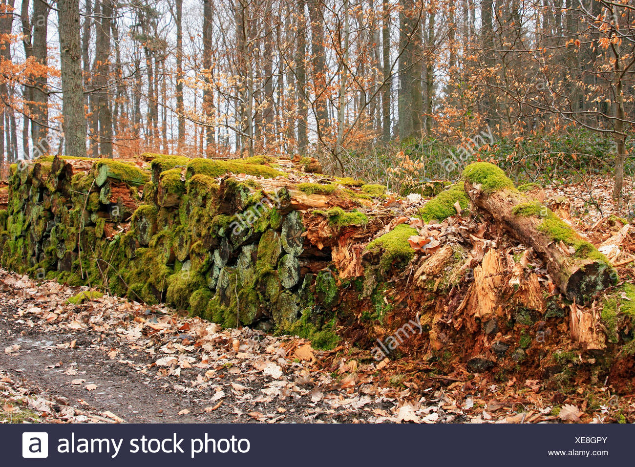Moss couverts logpile pourrir à côté d'un chemin forestier, gaspillage des ressources naturelles Photo Stock