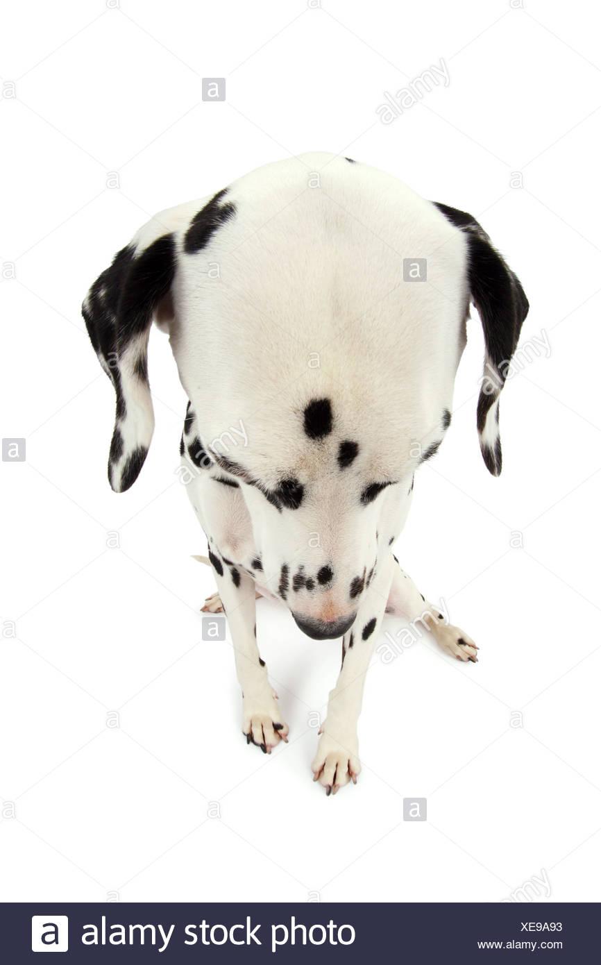 Dalmatien (Canis lupus f. familiaris), assis Dalmatien baissés avec vue Photo Stock