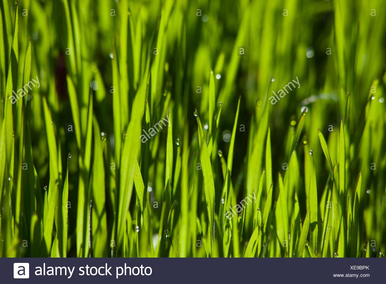 L'herbe, gazon, vert, vert. Photo Stock