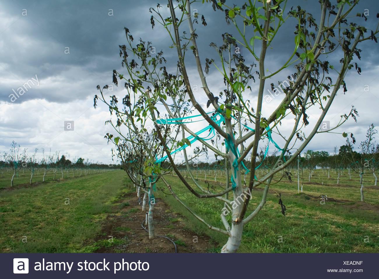 Agriculture - Les dégâts causés par le noyer un lourd gel printemps inhabituel / près de Dairyville, California, USA. Banque D'Images