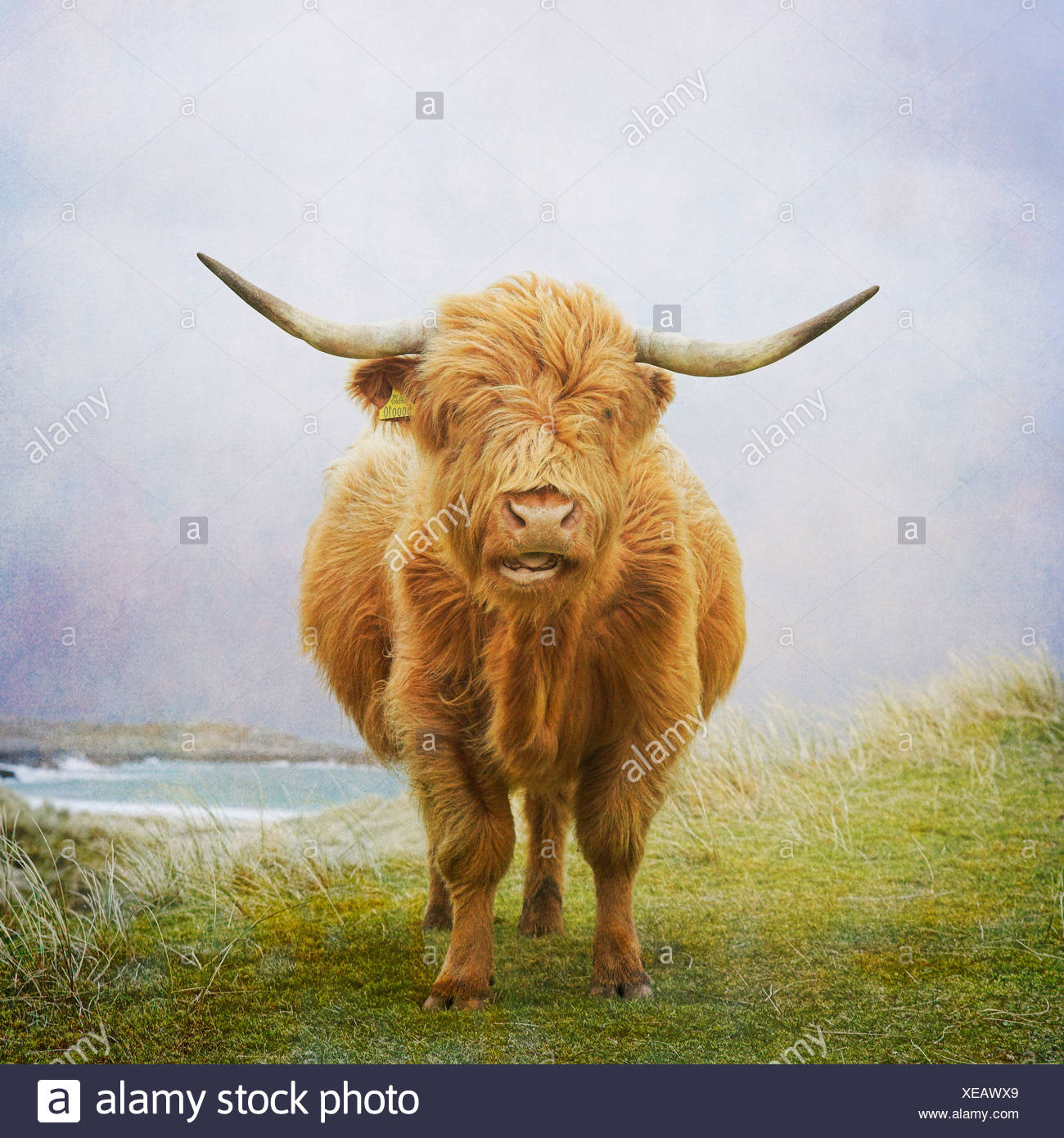 Vache Highland, Hébrides Photo Stock