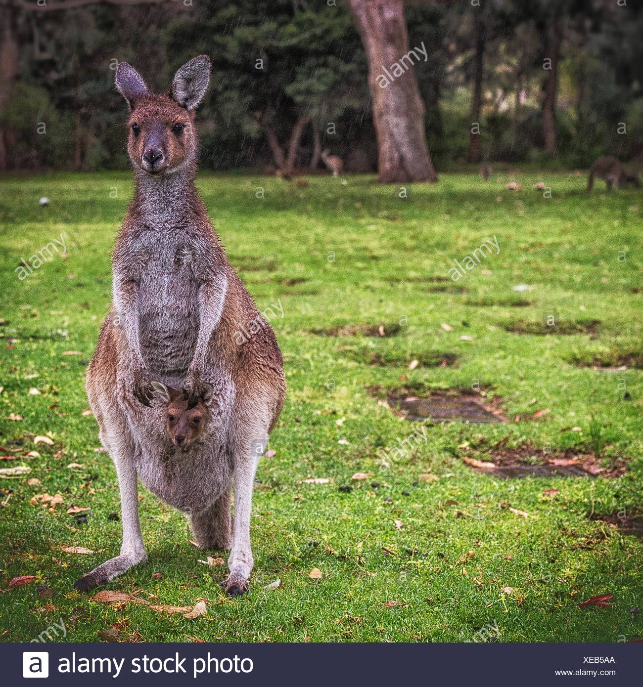 Kangourou et Joey, de l'Australie Photo Stock