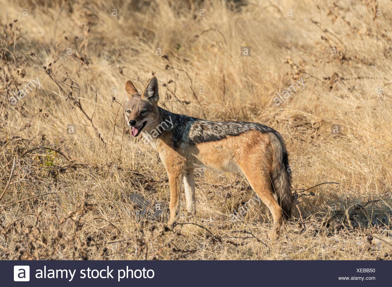 Le chacal à dos noir (Canis mesomelas) avec les proies la pintade, Etosha National Park, Namibie Banque D'Images