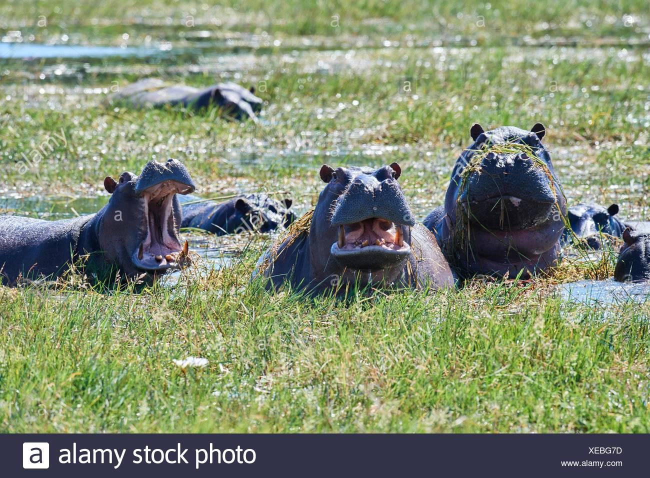 Hippopotame (Hippopotamus amphibius) Echelle et bâillements. Le Parc National de Moremi, Okavango delta, Botswana, Afrique du Sud. Banque D'Images