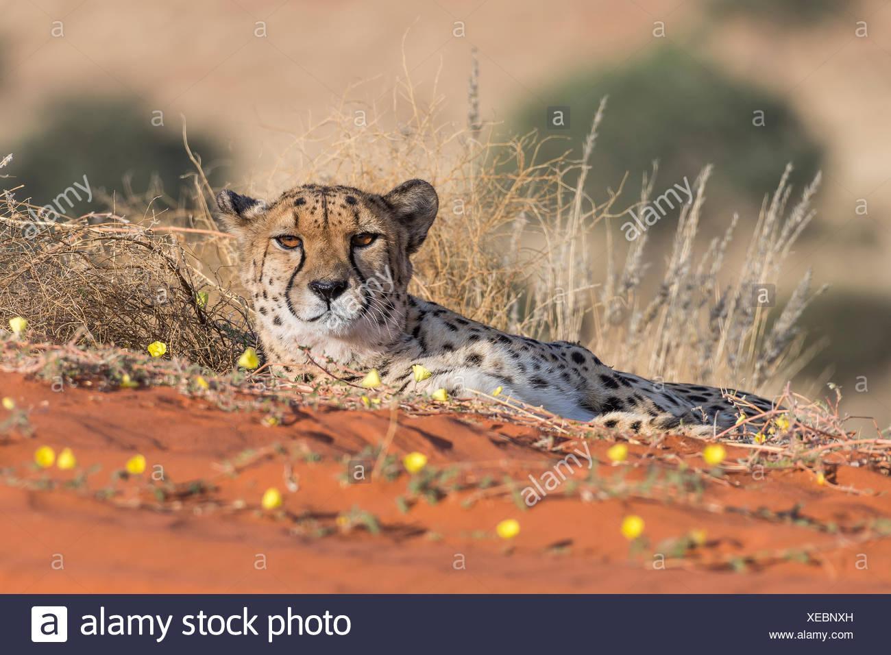 Le Guépard (Acinonyx jubatus) couché dans le sable, Désert du Kalahari, en Namibie Photo Stock