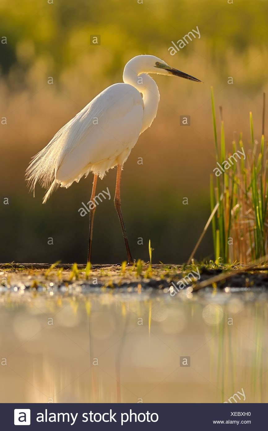 Grande aigrette (Ardea alba), se trouve au bord de la parc national de Kiskunsag, reed, Hongrie Photo Stock