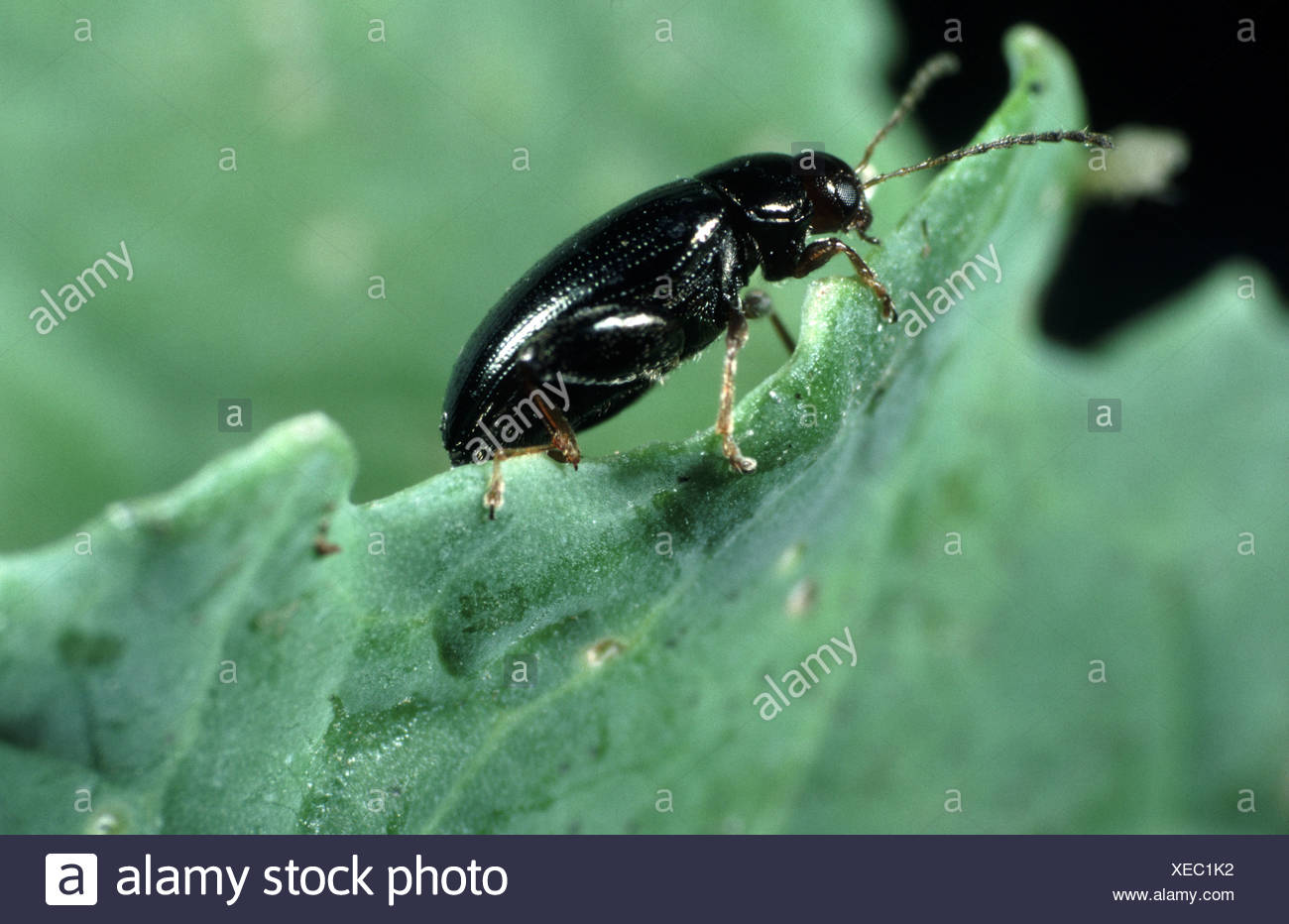 insect pest psylliodes photos & insect pest psylliodes images - alamy