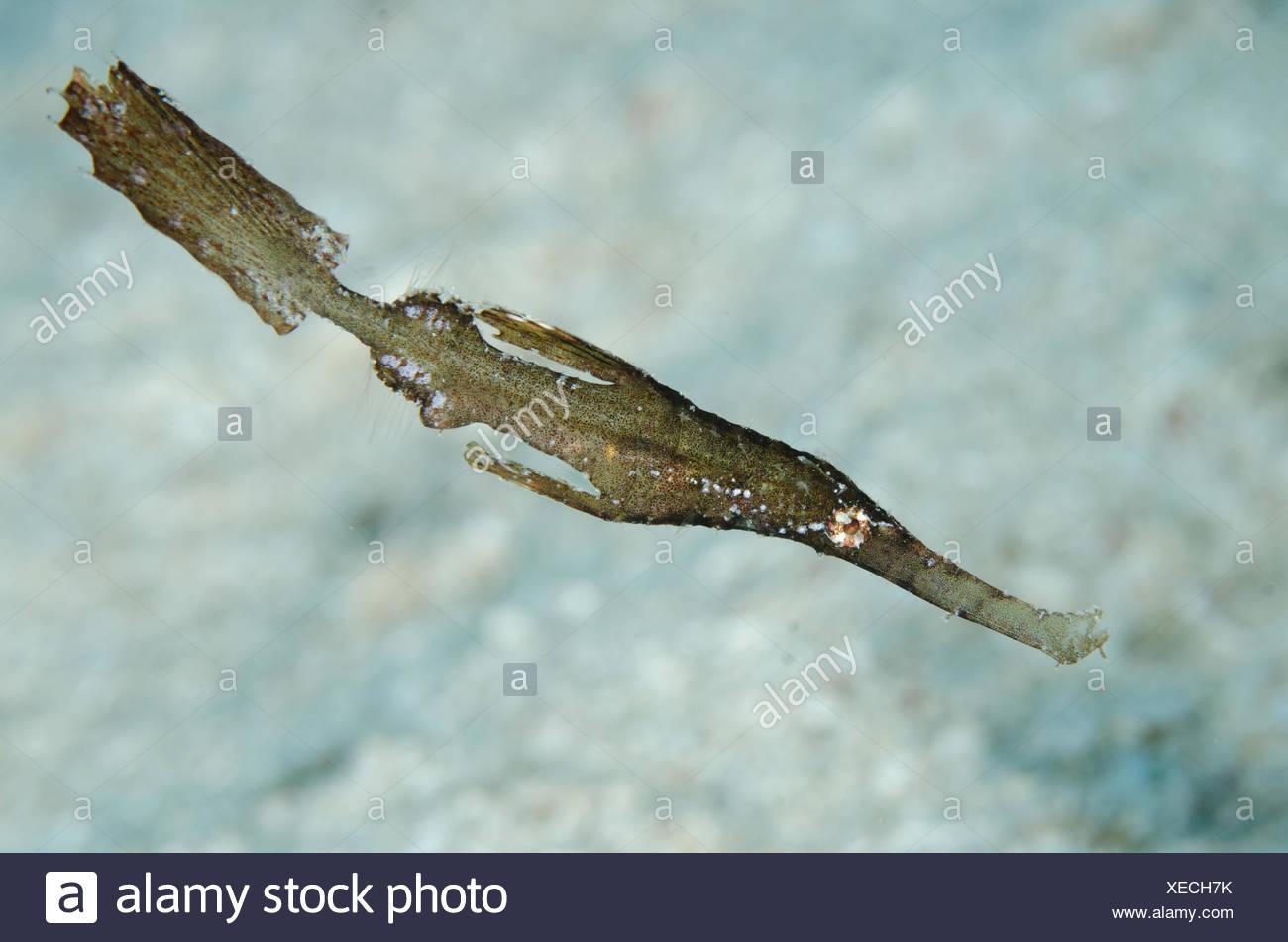 Syngnathe fantôme robuste (Solenostomus cyanopterus), sur le sable, Pelican Reef Dive site, oublié, Wuliaru Island, près de Tanimbar, Mer de Banda, Indonésie Photo Stock