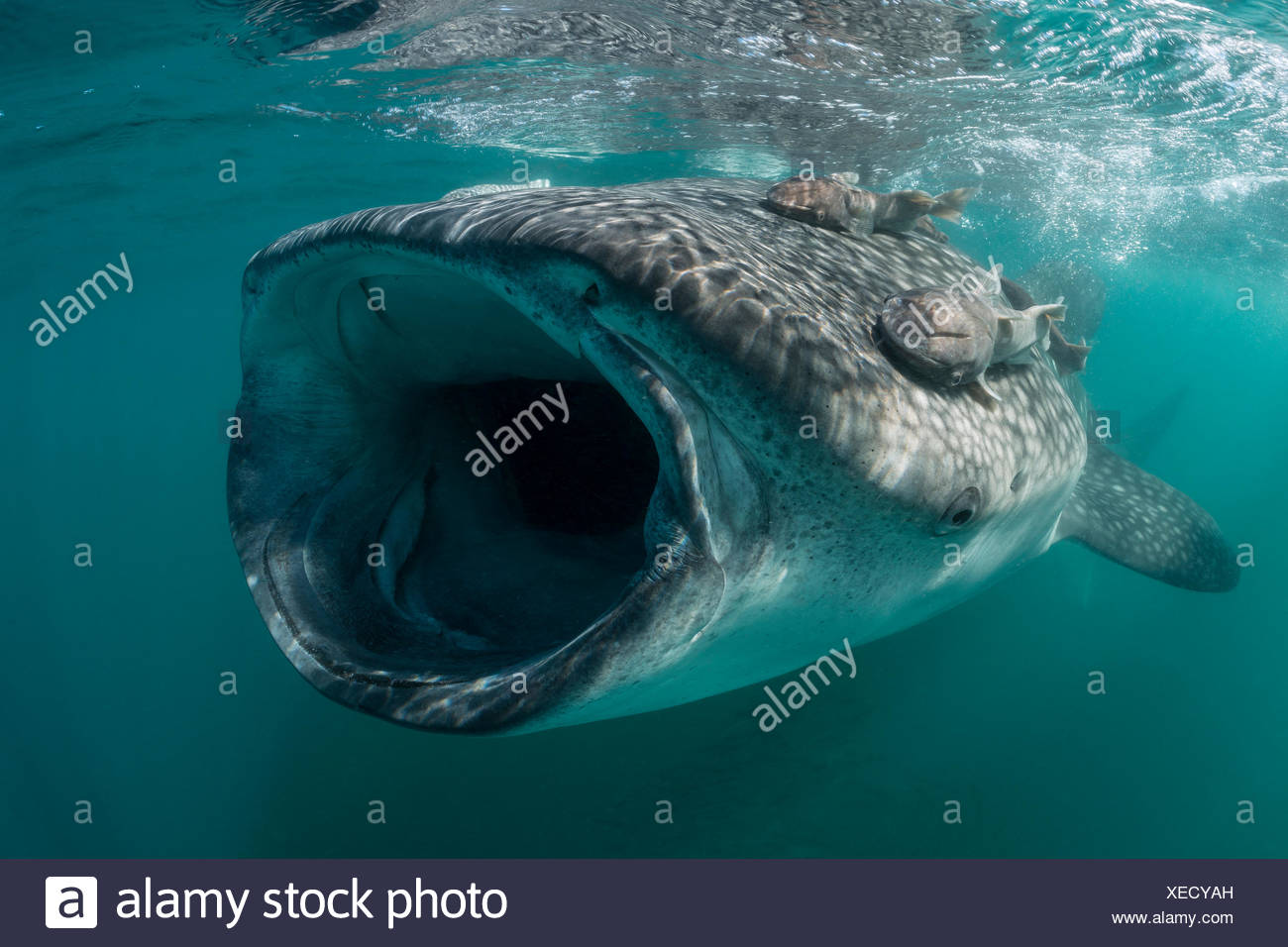 Requin-baleine se nourrit de plancton, Rhincodon typus, La Paz, Baja California Sur, Mexique Banque D'Images